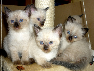 wir verkaufen s e katzenbabys die kleinen sind entwurmt stubenrein und. Black Bedroom Furniture Sets. Home Design Ideas